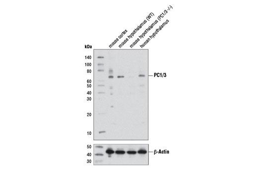 Polyclonal Antibody - PC1/3 Antibody - Western Blotting, UniProt ID P29120, Entrez ID 5122 #11914, Pcsk1