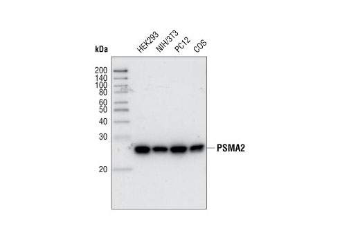 Western blot analysis of extracts from various cell lines using PMSA2 Antibody.