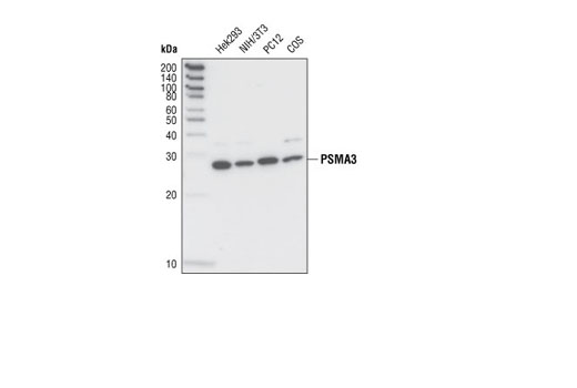 Western blot analysis of extracts from various cell lines using PMSA3 Antibody.