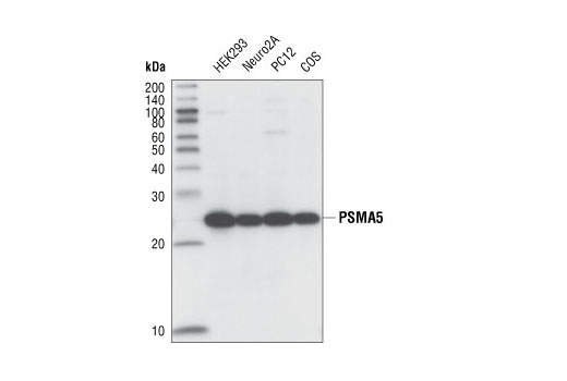 Western blot analysis of extracts from various cell lines using PMSA5 (K231) Antibody.