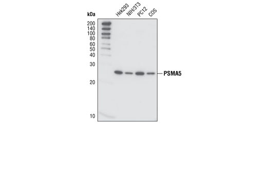Western blot analysis of extracts from various cell lines using PMSA5 (T14) Antibody.