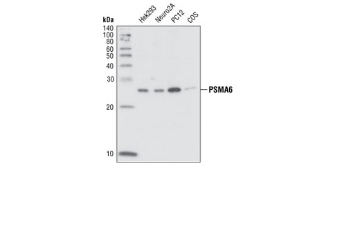 Western blot analysis of extracts from various cell lines using PMSA6 Antibody.