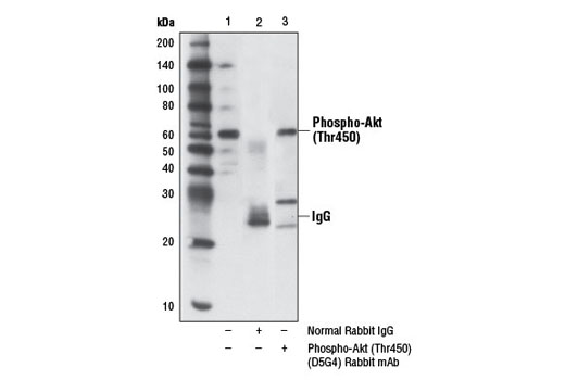 Monoclonal Antibody - Phospho-Akt (Thr450) (D5G4) Rabbit mAb, UniProt ID P31749, Entrez ID 10000 #12178, Antibodies to Kinases