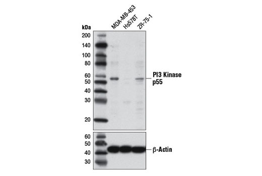 Human 1-phosphatidylinositol-3-kinase Regulator Activity