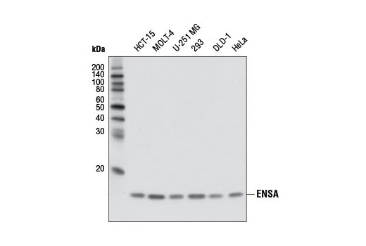 Western blot analysis of extracts from various cell lines using ENSA (D5Z1U) Rabbit mAb.