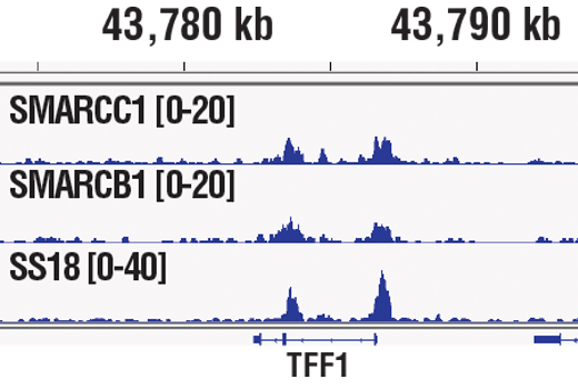 Chromatin immunoprecipitations were performed with cross-linked chromatin from MCF7 cells grown in phenol red free medium and 5% charcoal stripped FBS for 4 d, followed by treatment with β-estradiol (10 nM, 45 min) and either SMARCC1/BAF155 (D7F8S) Rabbit mAb, SMARCB1/BAF47 (D8M1X) Rabbit mAb #91735, or SS18 (D6I4Z) Rabbit mAb #21792, using SimpleChIP<sup>®</sup> Plus Enzymatic Chromatin IP Kit (Magnetic Beads) #9005. DNA Libraries were prepared using SimpleChIP<sup>®</sup> ChIP-seq DNA Library Prep Kit for Illumina<sup>®</sup> #56795. SMARCC1/BAF155, SMARCB1/BAF47, and SS18 are all subunits of SWI/SNF complex. The figure shows binding across pS2/TFF1, a known target gene of SWI/SNF complex (see additional figure containing ChIP-qPCR data). For additional ChIP-seq tracks, please download the product data sheet.
