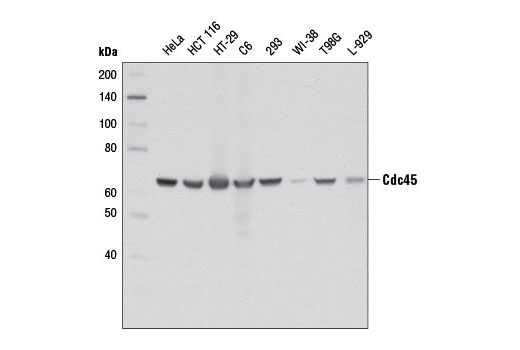 Western blot analysis of extracts from various cell lines using Cdc45 (D7G6) Rabbit mAb.