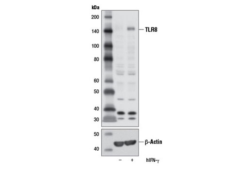 Western blot analysis of extracts from THP-1 cells differentiated with TPA #4174 (80 nM, 16 hr), untreated (-) or treated with Human Interferon-γ (hIFN-γ) #8901 (20 ng/mL, 8 hr; +), using Toll-like Receptor 8 (D3Z6J) Rabbit mAb (upper) or β-Actin (D6A8) Rabbit mAb #8457 (lower).