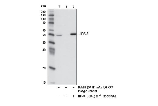 Immunoprecipitation of IRF-3 from THP-1 cell extracts using Rabbit (DA1E) mAb IgG XP<sup>®</sup> Isotype Control #3900 (lane 2) or IRF-3 (D6I4C) XP<sup>®</sup> Rabbit mAb (lane 3). Lane 1 is 10% input. Western blot analysis was performed using IRF-3 (D6I4C) XP<sup>®</sup> Rabbit mAb. Mouse Anti-rabbit IgG (Conformation Specific) (L27A9) mAb #3678 and Anti-mouse IgG, HRP-linked Antibody #7076 were used as secondary antibodies.