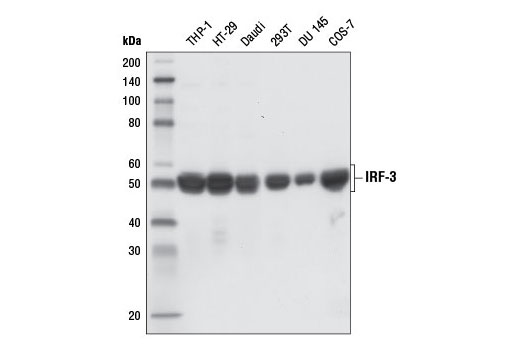 Western blot analysis of extracts from various cell lines using IRF-3 (D6I4C) XP<sup>®</sup> Rabbit mAb.