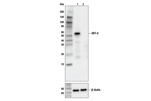 Western blot analysis of HeLa cell extracts, untreated (-) or IRF-3 knock-out (+), using IRF-3 (D6I4C) XP® Rabbit mAb, #11904 (upper) or β-actin (13E5) Rabbit mAb #4970 (lower).