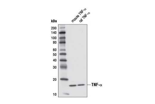 Western blot analysis of 1 ng recombinant mouse TNF-α #5178 and 1 ng recombinant rat TNF-α using TNF-α (D2D4) XP<sup>®</sup> Rabbit mAb (Rodent Specific).