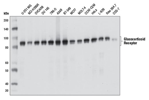 Western blot analysis of extracts from various cell lines using Glucocorticoid Receptor (D6H2L) XP<sup>®</sup> Rabbit mAb.