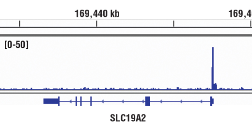 Chromatin immunoprecipitations were performed with cross-linked chromatin from A549 cells cultured in media with 5% charcoal-stripped FBS for 3 d and then treated with 100 nM dexamethasone for 1 hr and Glucocorticoid Receptor (D6H2L) XP<sup>®</sup> Rabbit mAb, using SimpleChIP<sup>®</sup> Enzymatic Chromatin IP Kit (Magnetic Beads) #9003. DNA Libraries were prepared using SimpleChIP® ChIP-seq DNA Library Prep Kit for Illumina® #56795. The figure shows binding across SLC19A2, a known target gene of GR (see additional figure containing ChIP-qPCR data). For additional ChIP-seq tracks, please download the product data sheet.