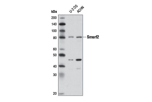 Western blot analysis of extracts from U-2 OS and ACHN cells using Smurf2 (D8B8) Rabbit mAb.