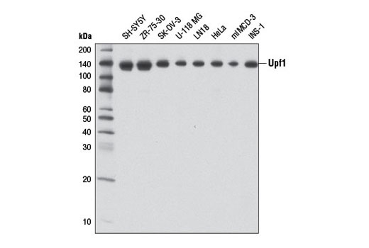 Western blot analysis of extracts from various cell lines using Upf1 (D15G6) Rabbit mAb.