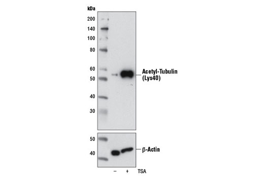 Western blot analysis of extracts from HeLa cells, untreated (-) or treated with TSA #9950 (400 nM, 16 hr; +), using Acetyl-α-Tubulin (Lys40) (6-11B-1) Mouse mAb (upper) or β-Actin (D6A8) Rabbit mAb #8457 (lower).