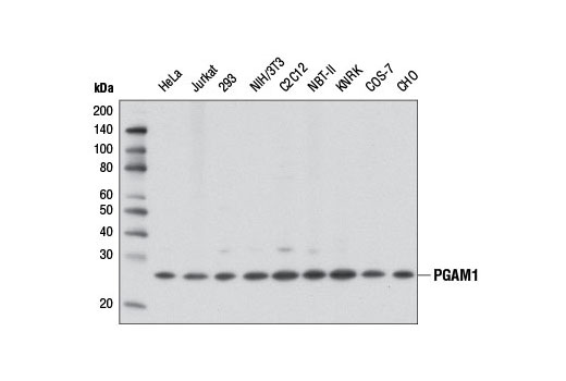 Image 7: Glycolysis II Antibody Sampler Kit