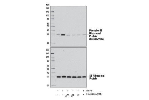 Chemical Modulators - Everolimus - 1 mg #12017 - Signal Transduction Reagents