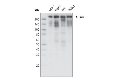 Image 20: Translation Initiation Complex Antibody Sampler Kit