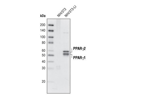 Western blot analysis of extracts from NIH/3T3 and NIH/3T3-L1 cells (differentiated 6 days) using PPARγ (D69) Antibody.