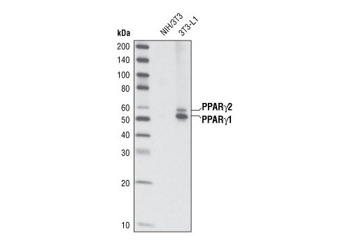Western blot analysis of extracts from NIH/3T3 and 3T3-L1 cells (differentiated 6 days) using PPARγ (C26H12) Rabbit mAb.
