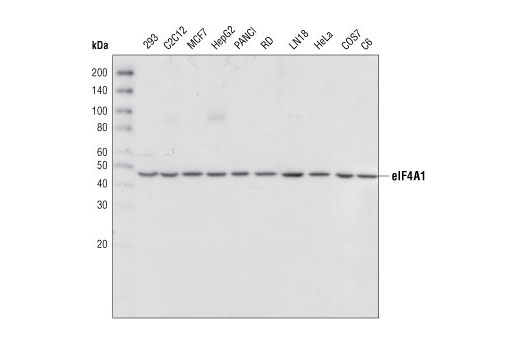 Western blot analysis of extracts from various cell lines, using eIF4A1 Antibody.