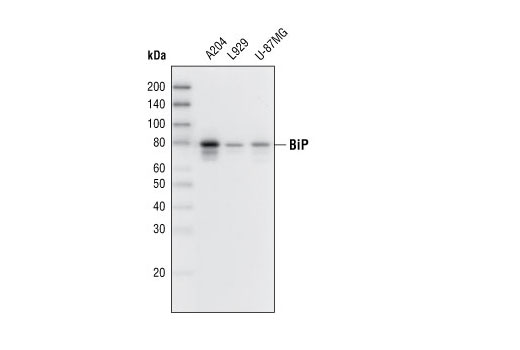 Western blot analysis of extracts from various cell lines using BiP (C50B12) Rabbit mAb.