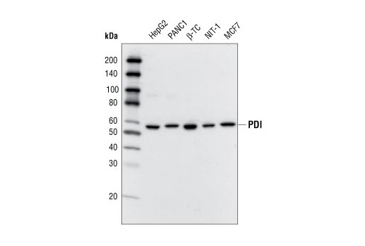Western blot analysis of extracts from various cell lines using PDI Antibody.