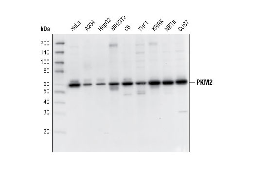 Western blot analysis of extracts from various cell lines using PKM2 Antibody.