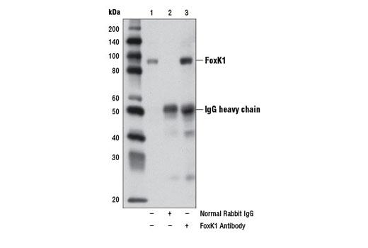 Immunoprecipitation of FoxK1 from HeLa cell extracts, using Normal Rabbit IgG #2729 (lane 2) or FoxK1 Antibody (lane 3). Lane 1 is 10% input. Western blot analysis was performed using FoxK1 Antibody.