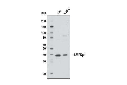 Western blot analysis of extracts from 293 and COS-7 cells using AMPKβ1 Antibody.