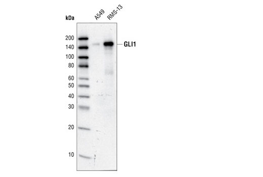 Western blot analysis of total cell lysates from A549 and RMS-13 cells using GLI1 Antibody.