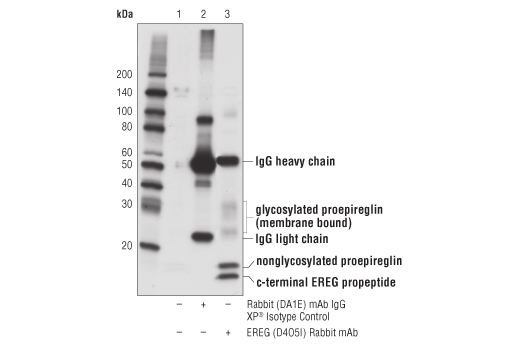 Immunoprecipitation of EREG from COLO 205 cell extracts using Rabbit (DA1E) mAb IgG XP<sup>®</sup> Isotype Control #3900 (lane 2) or EREG (D4O5I) Rabbit mAb (lane 3). Lane 1 is 10% input. Western blot analysis was performed using EREG (D4O5I) Rabbit mAb.