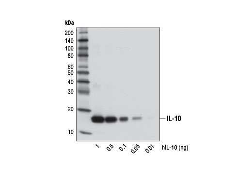 Western blot analysis of recombinant Human Interleukin-10 (hIL-10) #8903 using IL-10 (D13A11) XP<sup>®</sup> Rabbit mAb.