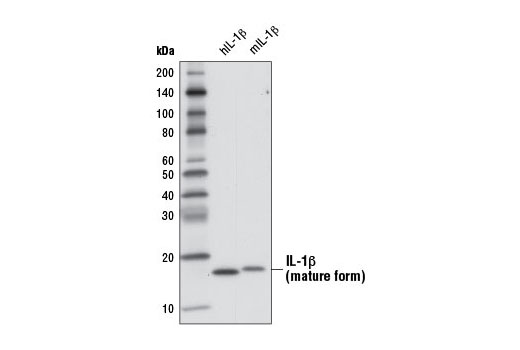 Western blot analysis of 1 ng recombinant Human Interleukin-1β (hIL-1β) #8900 and 1 ng recombinant Mouse Interleukin-1β (mIL-1β) #5204 using IL-1β (3A6) Mouse mAb.
