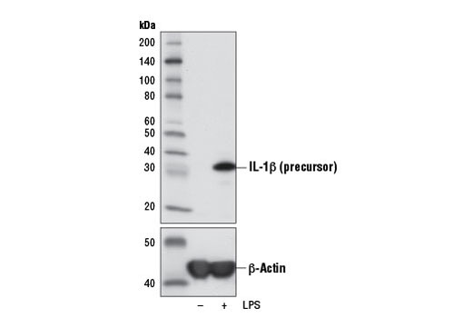 Western blot analysis of extracts from THP-1 cells, untreated (-) or LPS-treated (100 ng/mL, 3 hr; +), using IL-1β (3A6) Mouse mAb (upper) or β-Actin (D6A8) Rabbit mAb #8457 (lower).