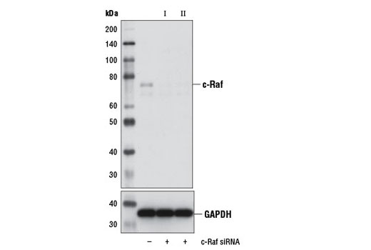 Western blot analysis of extracts from HeLa cells, transfected with 100 nM SignalSilence<sup>®</sup> Control siRNA (Unconjugated) #6568 (-), SignalSilence<sup>®</sup> c-Raf siRNA I (+), or SignalSilence<sup>® </sup>c-Raf siRNA II #12342 (+), using c-Raf Antibody #9422 (upper) or GAPDH (D16H11) XP<sup>®</sup> Rabbit mAb #5174 (lower). The c-Raf Antibody confirms silencing of c-Raf expression, while the GAPDH (D16H11) XP<sup>®</sup> Rabbit mAb is used as a loading control.