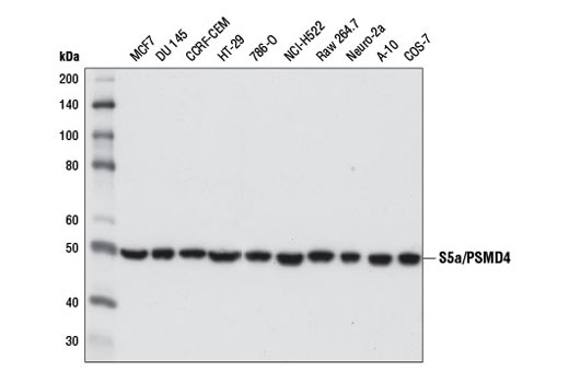 Western blot analysis of extracts from various cell lines using S5a/PSMD4 (D20B2) Rabbit mAb.