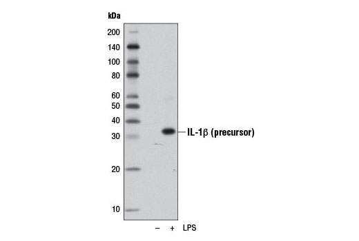 Western blot analysis of extracts from Raw 264.7 cells, untreated (-) or LPS-treated (1 μg/ml, overnight; +), using IL-1β (D4T2D) Rabbit mAb (Mouse Specific).