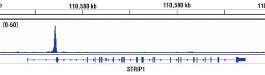 Chromatin immunoprecipitations were performed with cross-linked chromatin from A-375 cells and Brn2/POU3F2 (D2C1L) Rabbit mAb #12137, using SimpleChIP<sup>®</sup> Enzymatic Chromatin IP Kit (Magnetic Beads) #9003. DNA Libraries were prepared using SimpleChIP<sup>®</sup> ChIP-seq DNA Library Prep Kit for Illumina<sup>®</sup> #56795. The figure shows binding across the STRIP1 gene. For additional ChIP-seq tracks, please download the product data sheet.