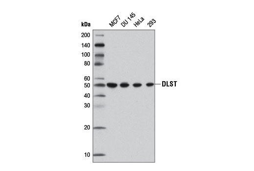 Western blot analysis of extracts from various cell lines using DLST (D22B1) XP<sup>®</sup> Rabbit mAb.