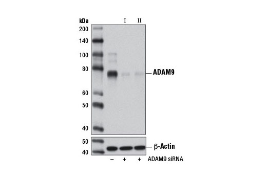 siRNA Transfection Collagen Binding