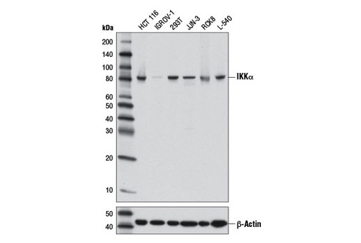 Western blot analysis of extracts from various cell lines using IKKα (3G12) Mouse mAb (upper) or β-Actin (D6A8) Rabbit mAb #8457 (lower).