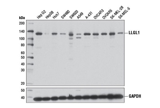 Western blot analysis of extracts from various cell lines using LLGL1 (D2B5A) Rabbit mAb (upper) or GAPDH (D16H11) XP<sup>®</sup> Rabbit mAb #5174 (lower).