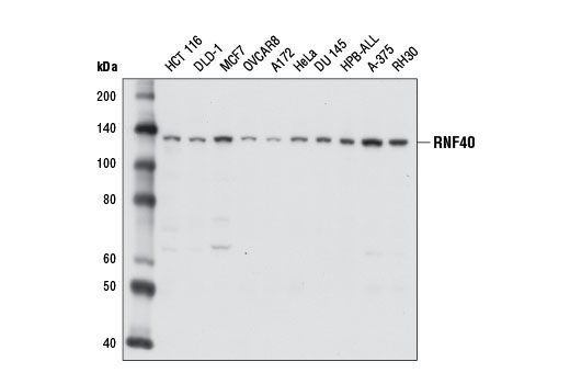 Western blot analysis of extracts from various cell lines using RNF40 (D2R2O) Rabbit mAb.