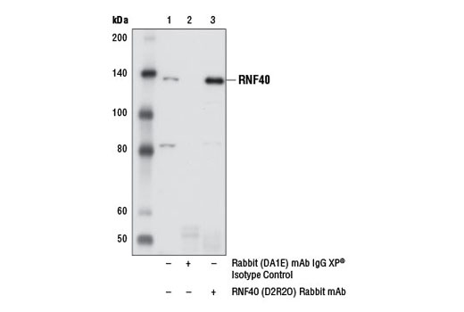 Immunoprecipitation of RNF40 from 293T cell extracts, using Rabbit (DA1E) mAb IgG XP<sup>® </sup>Isotype Control #3900 (lane 2) or RNF40 (D2R2O) Rabbit mAb (lane 3). Lane 1 is 10% input. Western blot analysis was performed using RNF40 (D2R2O) Rabbit mAb.