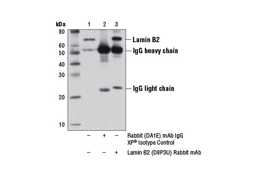 Immunoprecipitation of lamin B2 from Jurkat cell extracts, using Rabbit (DA1E) mAb IgG XP<sup>®</sup> Isotype Control #3900 (lane 2) or Lamin B2 (D8P3U) Rabbit mAb (lane 3). Lane 1 is 10% input. Western blot analysis was performed using Lamin B2 (D8P3U) Rabbit mAb.