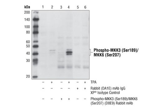Immunoprecipitation of phospho-MKK3 (Ser189)/MKK6 (Ser207) from HeLa cells, untreated or treated with TPA #4174 (200 nM, 15 min), using Phospho-MKK3 (Ser189)/MKK6 (Ser207) (D8E9) Rabbit mAb (lanes 3 and 4) or Rabbit (DA1E) mAb IgG XP<sup>®</sup> Isotype Control #3900 (lanes 5 and 6). Lanes 1 and 2 are 10% input. Western blot analysis was performed using</p><p>Phospho-MKK3 (Ser189)/MKK6 (Ser207) Antibody #9231. Mouse Anti-rabbit IgG (Conformation Specific) (L27A9) mAb #3678 was used as a secondary antibody.