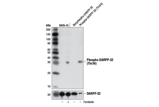 Western blot analysis of extracts from MKN-45 cells, untreated (-) or treated with Forskolin #3828 (30 μM, 20 min; +), or nonphospho-DARPP-32 and phospho-DARPP-32 (Thr34) recombinant proteins using Phospho-DARPP-32 (Thr34) (D27A4) Rabbit mAb (upper) or DARPP-32 (19A3) Rabbit mAb #2306 (lower).